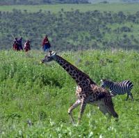Female Giraffes with Calves