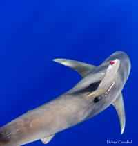 Oceanic Whitetip Shark with a Pop-Up Satellite Archival Tag and 2 Uniquely Numbered External Tags At