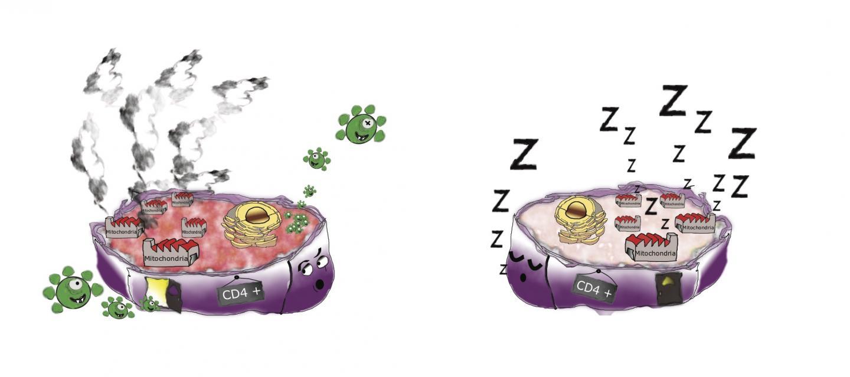 Schematic Representation of CD4 T Lymphocytes