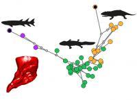 Humerus shape change along evolutionary tree