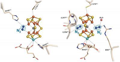 The Dinitrogen Ligand-Bound M-Clusters of Nitrogenase