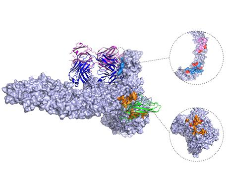 3-D structure of C. difficile toxin engaged with CSPG4 receptor.