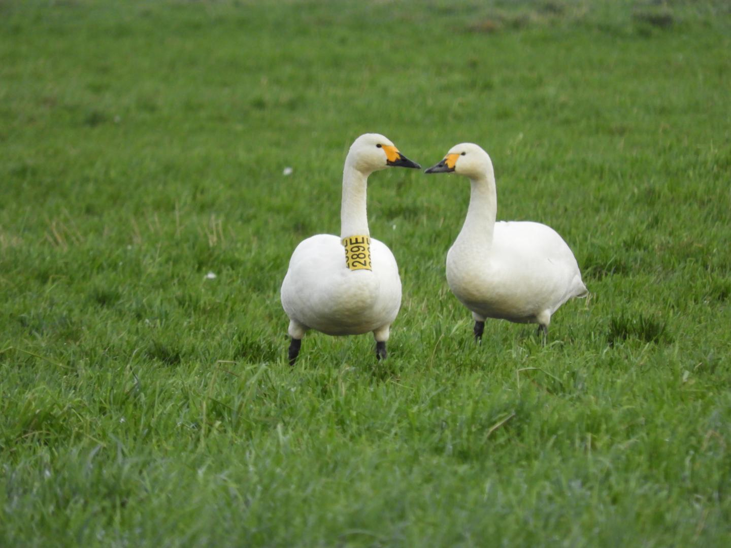 A pair of Bewick's swans