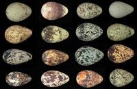 Guillemot Eggs (3 of 3)