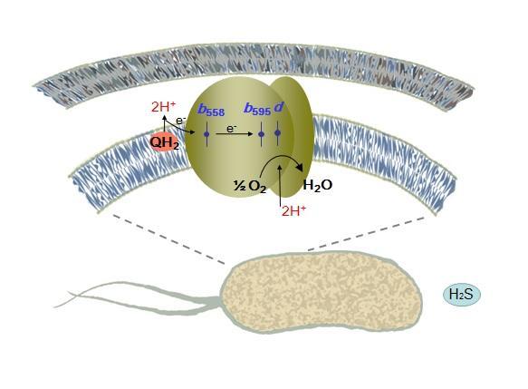 Bd-Cytochrome