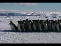 Group of Emperor Penguins Synchronously Diving from Ice Edge