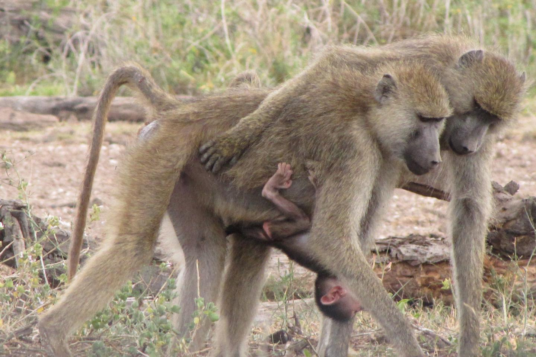 Baboon females, Amboseli basin, Kenya