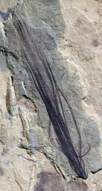 Carnivourous Dinosaur Protofeather from Koonwarra