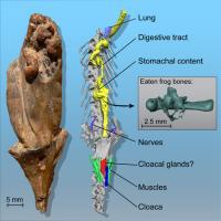 Fossil Specimen of <i>Phosphotriton sigei</i>