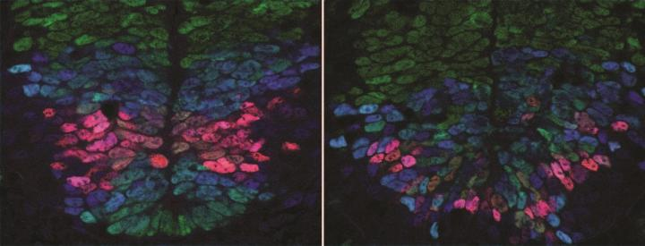 A Normal Developing Spinal Cord Showing Precise Patterns of Gene Activity
