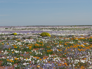 Spring mass flower display, South Africa
