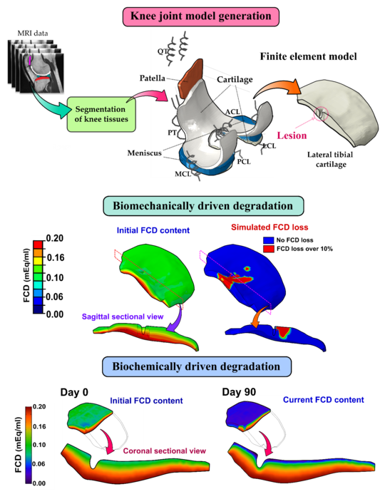 Biomechanical and inflammatory mechanisms implemented into computer models of knee joint cartilage degradation