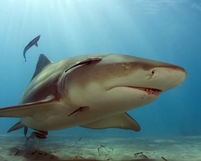Cruising Lemon Shark