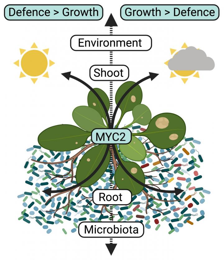 Model for root microbiota-induced growth-defense trade-off
