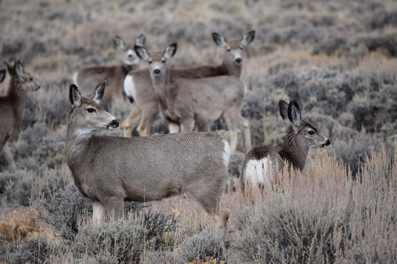 Mule Deer before Migration