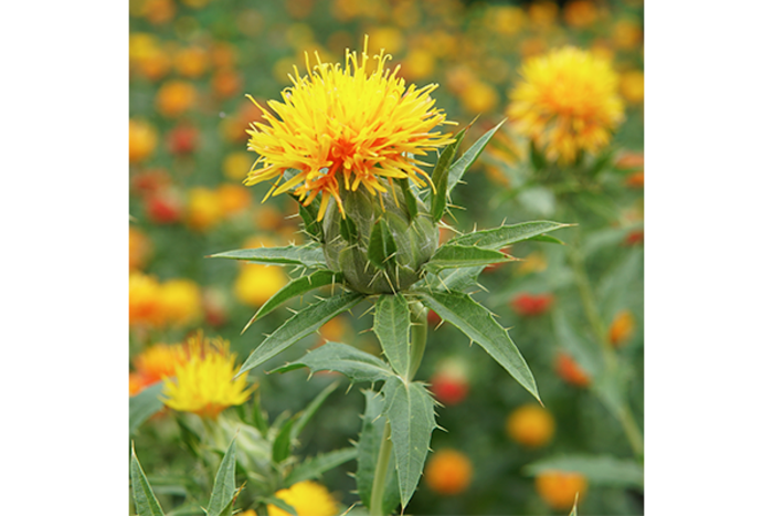 Researchers Identify the Biosynthesis of Carthamin, the Historic Red Colorant in Safflowers