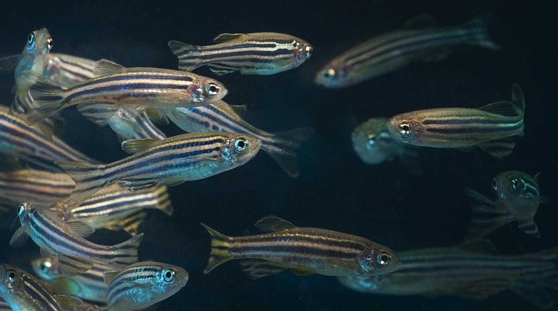 Adult Zebrafish