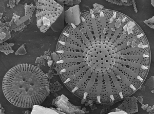 Diatom fossils from June Lake sediments under scanning electron microscope