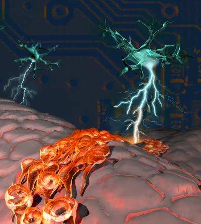 Adult Subependymal Neurogenic Niche