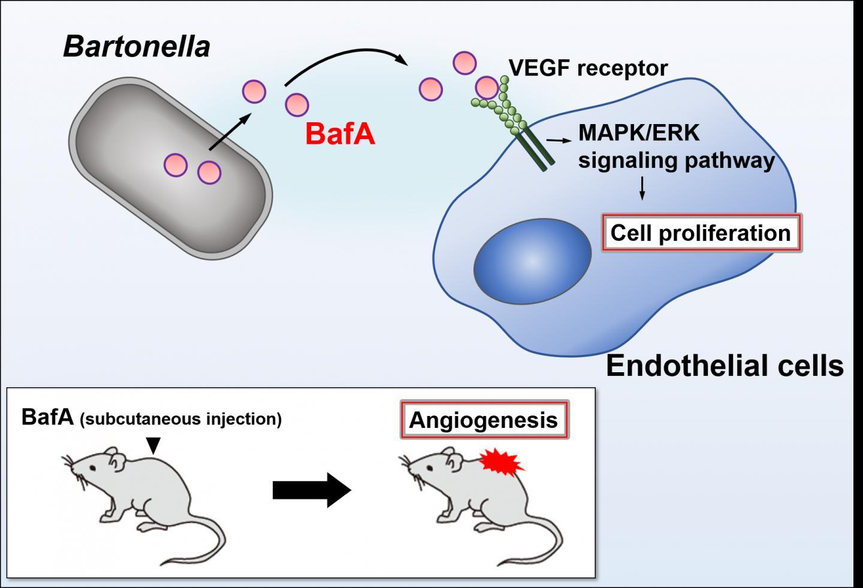 Figure 1. Bartonella angiogenic factor A
