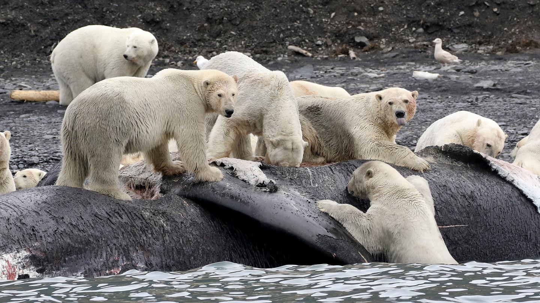 Polar Bears and Whale Carcass