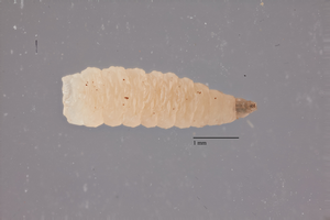 Larva of the avian vampire fly