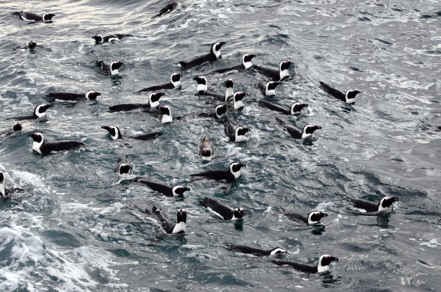 African Penguins at Sea