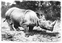 Rauhohr Nashorn Drawing