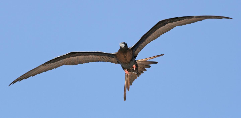 A female Ascension frigatebird