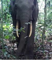 Forest Elephant Cam Trap