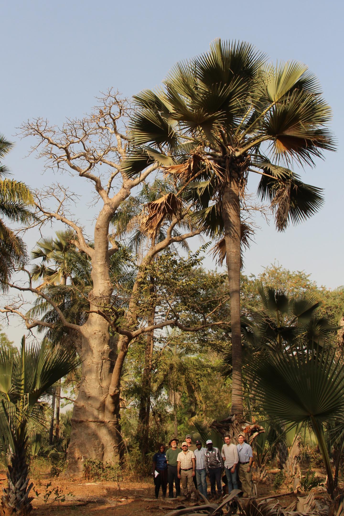 Palmyra Palm, Senegal