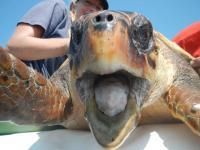 Loggerhead Turtle (3 of 3)