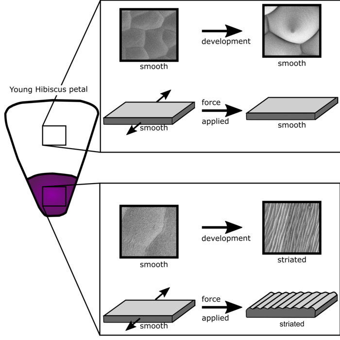 Mechanical buckling can pattern the light-diffracting cuticle of Hibiscus trionum graphical abstract