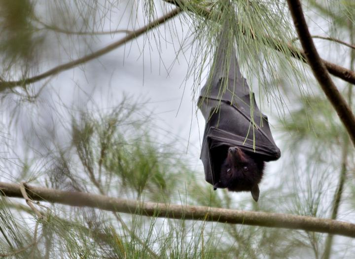 Black Flying Fox (<i>Pteropus alecto</i>)