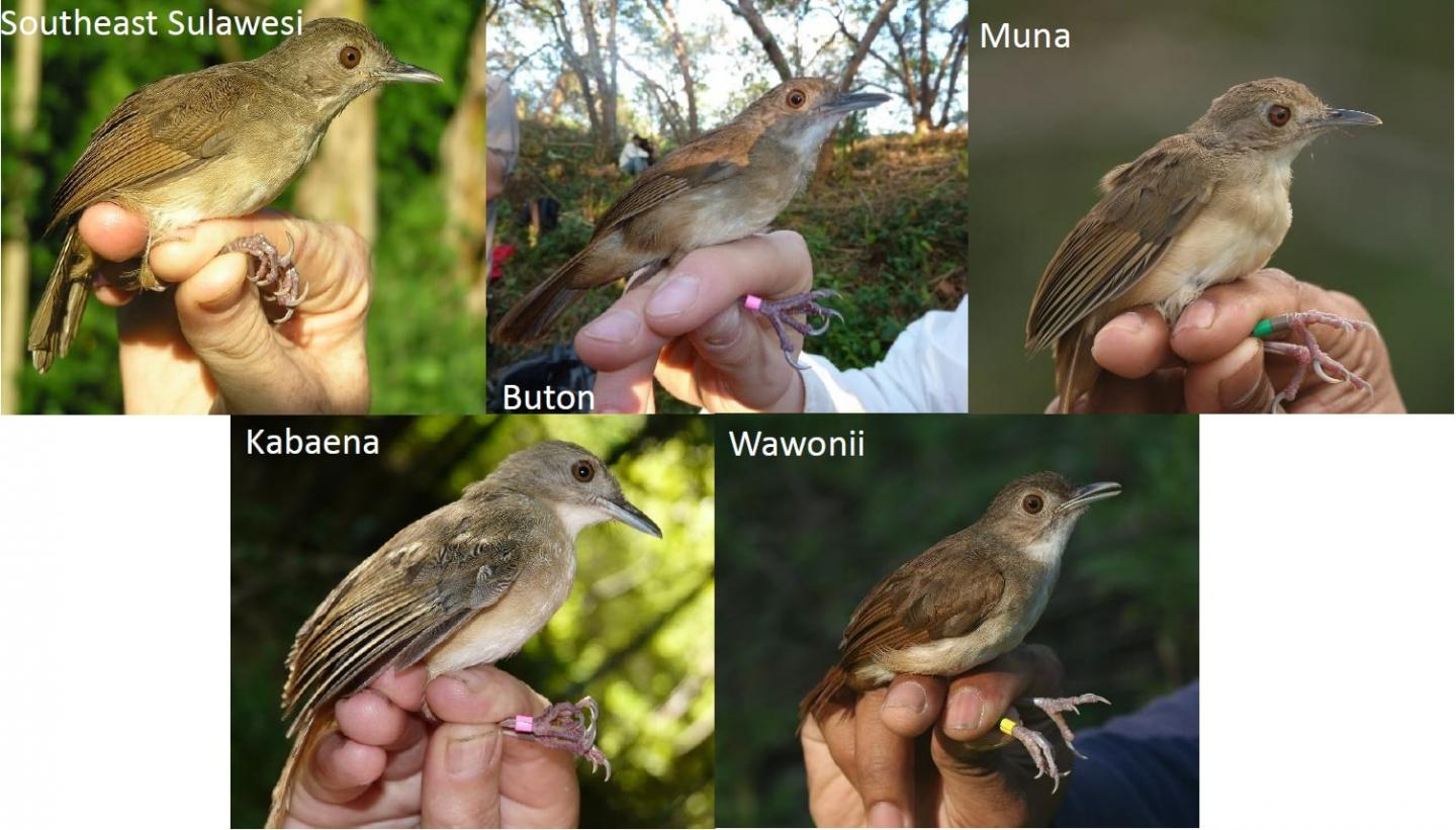 The different subspecies of Sulawesi babblers resident on each island