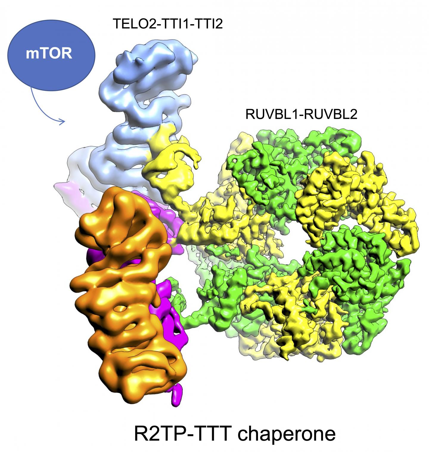 Structure of TELO2-TTI1-TTI2 proteins (article), together with the rest of proteins that manages the assembly of mTOR