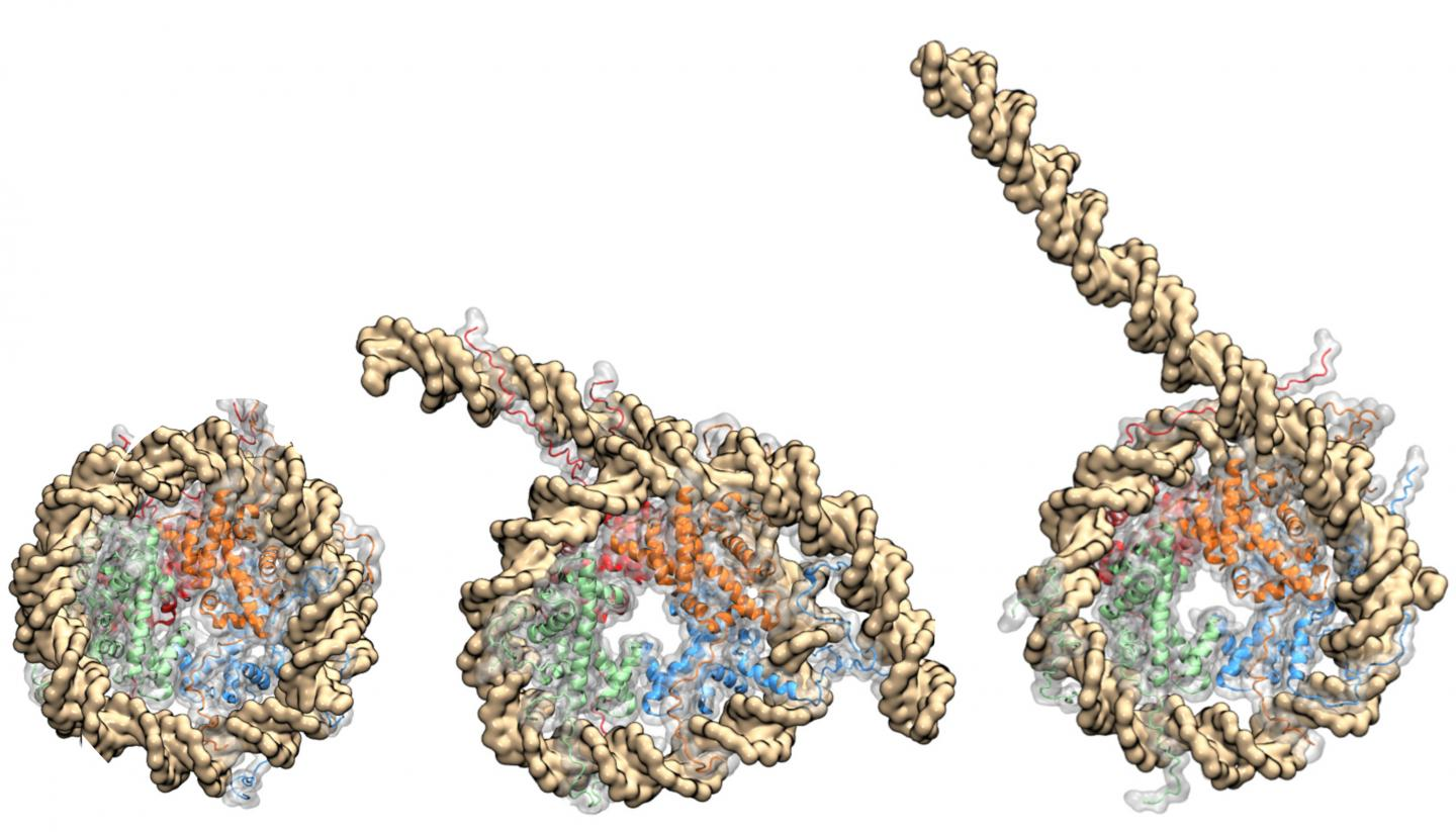 Nucleosome Coiled in DNA