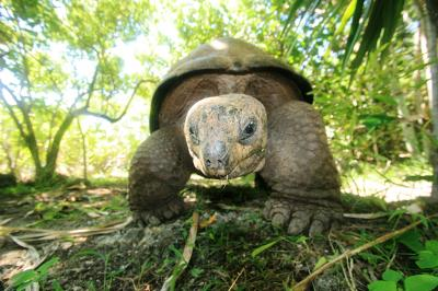 Aldabra Tortoise (<I>Aldabrachelys gigantea</I>) (1 of 3)