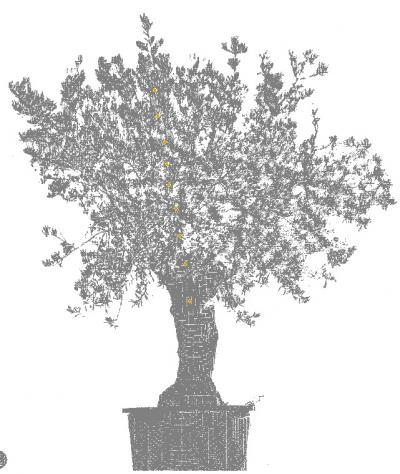 Sleeping Olive Tree