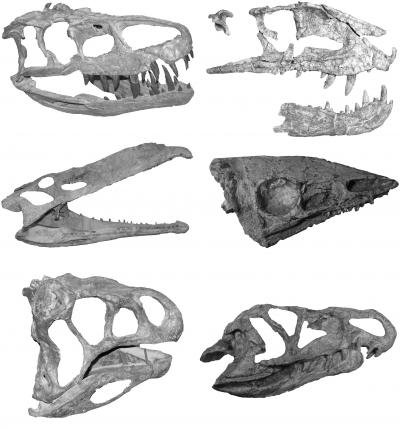 A Montage of the Skulls of Several Crurotarsan Archosaurs