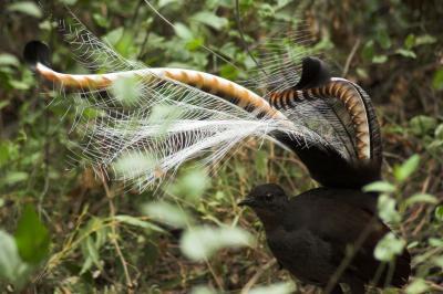 Lyrebirds (1 of 2)