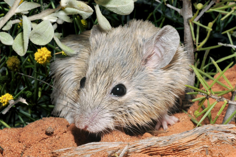 Shark Bay Mouse
