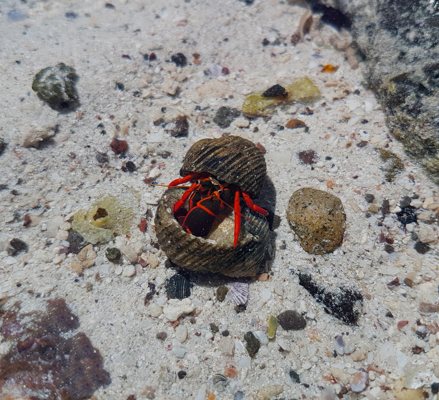 Hermit Crab Exploring the Shell of a Potential Opponent