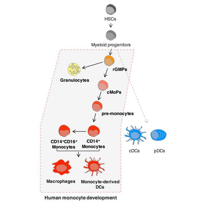 Identification of Human Common Monocyte Progenitor (cMoP)
