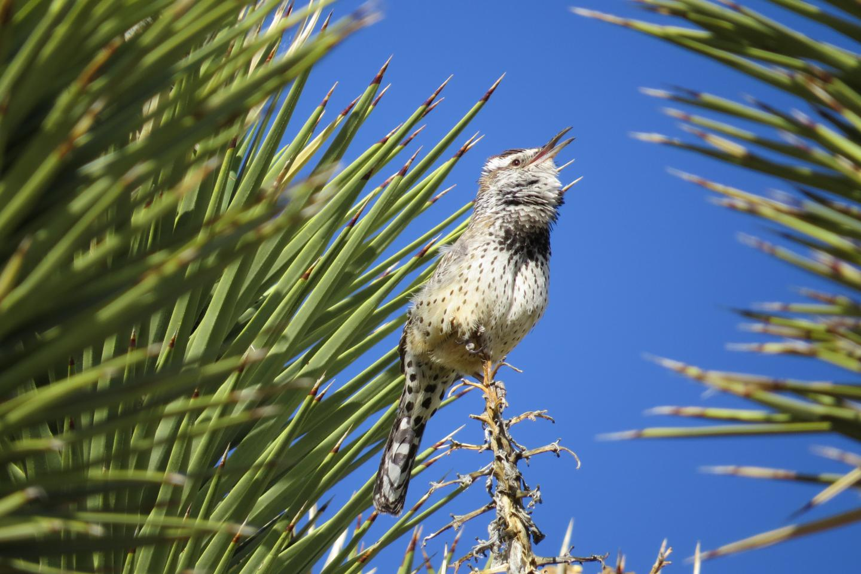 Cactus Wren, Mojave Desert