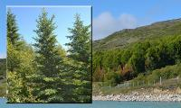 Forest Planted in Southern Greenland (Qanassiassat)
