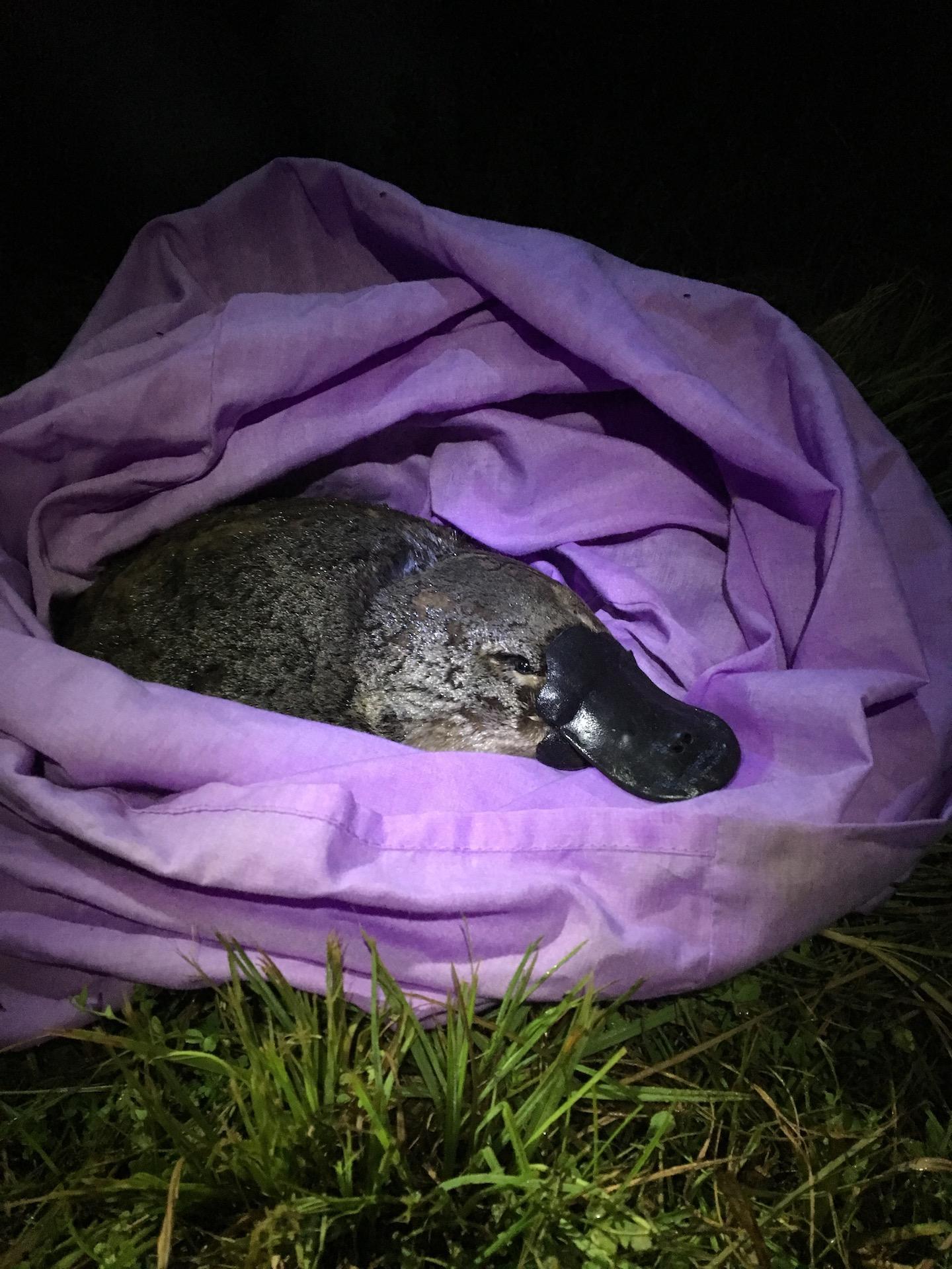 Platypus on Brink of Extinction (2 of 3)