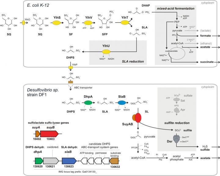 Degradation of Sulfoquinovose