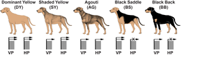 Dog color patterns