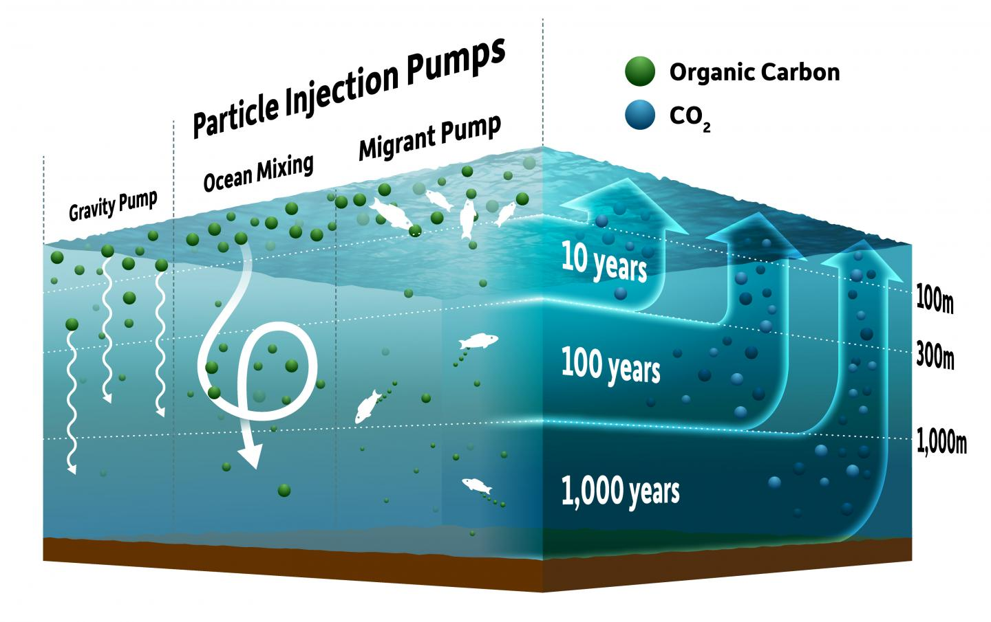 Particle Injection Pumps in the Ocean Carbon Cycle